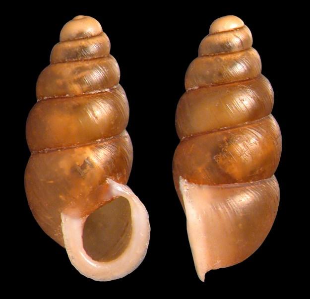 Pupoides albilabris