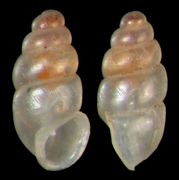 Carychium exiguum