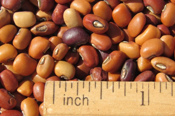 COWPEAS - Molokai Seed Company