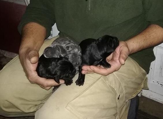 cuccioli-cane-corso-allevamento-dei-legionari