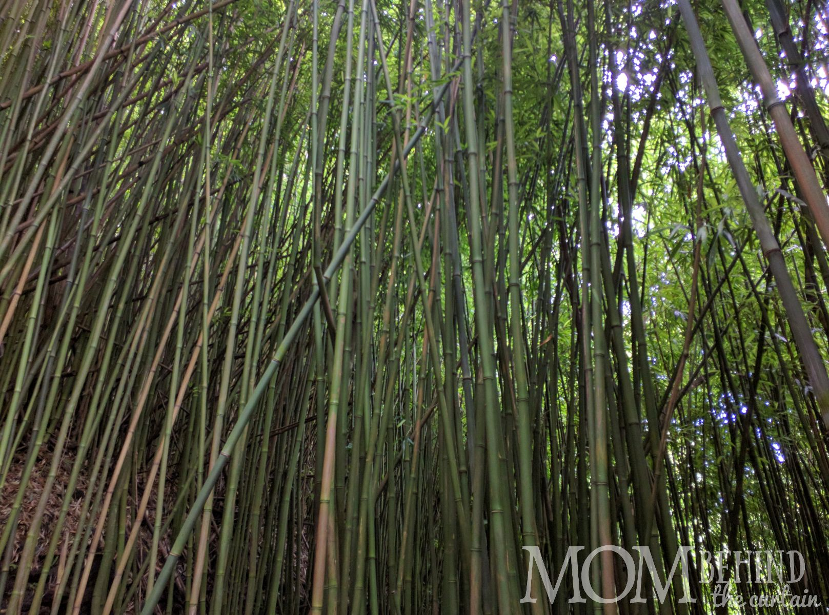 Bamboo in the Bamboo Forest, Maui.