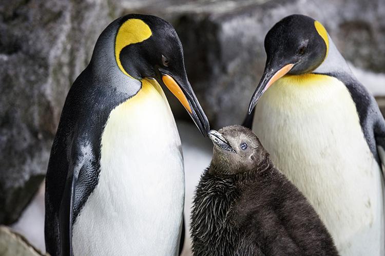 Same-Sex Penguin Moms