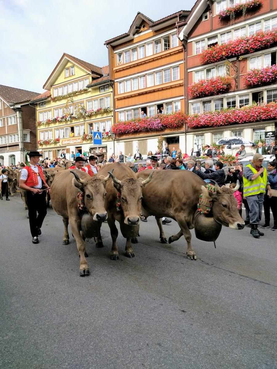 The Swiss Alpabfahrt Cow Parade