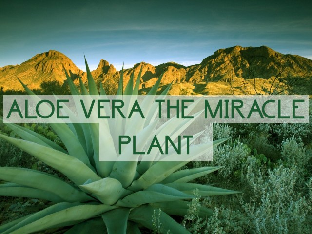 Aloe Vera – Benefits of this Miracle Plant