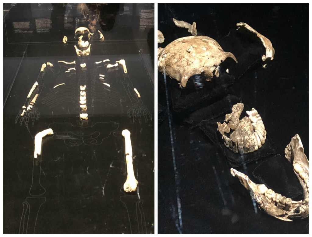 naledi hominid fossils in the Origins: fossils from the cradle of humankind exhibition at the Perot museum.