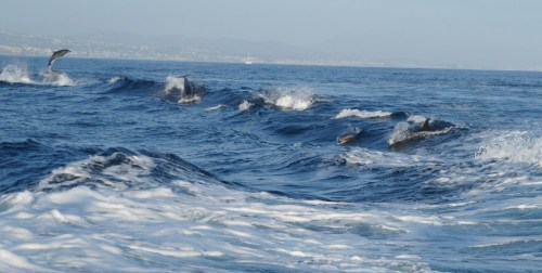 Bottle nose dolphins, Dana Point, California