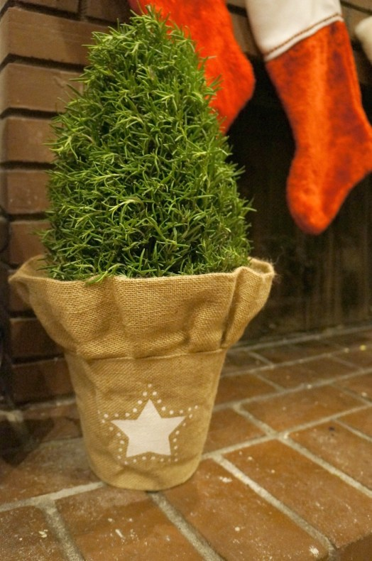 Christmas rosemary potted plant