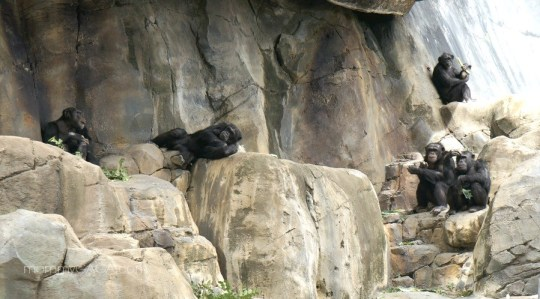 Chimpanzee Hanging Out, Los Angeles Zoo