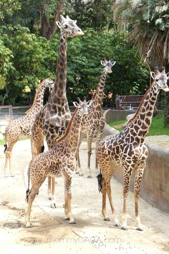 Masai Giraffes, Los Angeles Zoo