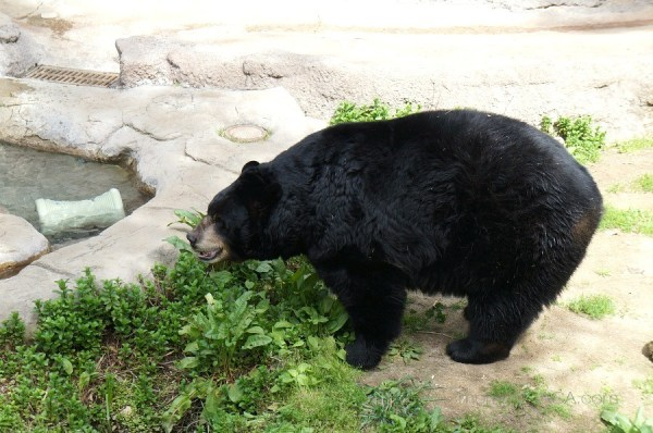 Photo of American Black Bear, Los Angeles Zoo