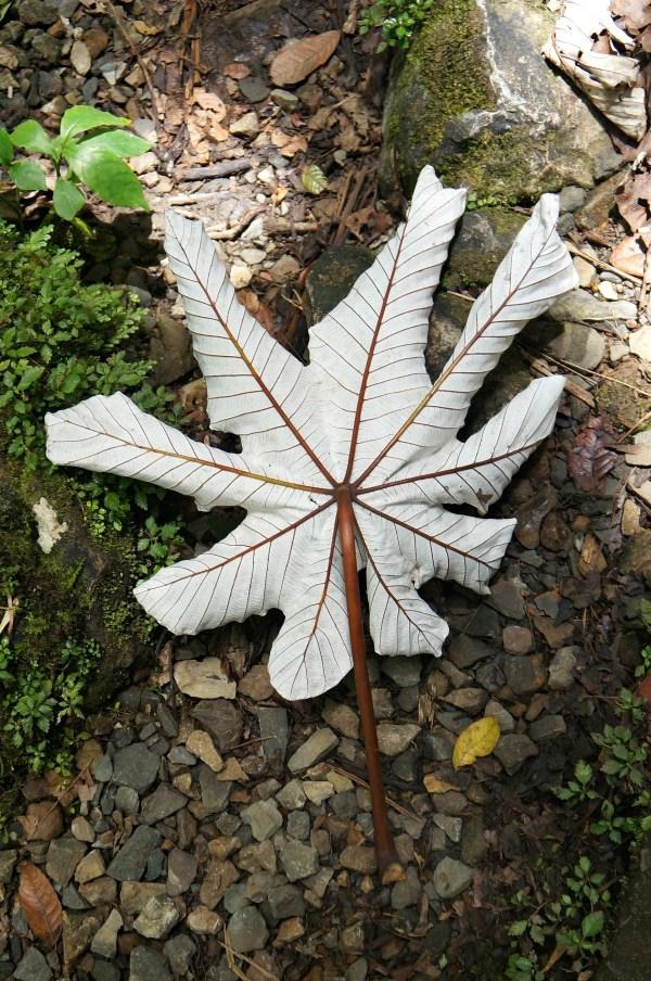 Huge fallen leaf in El Yunque Forest