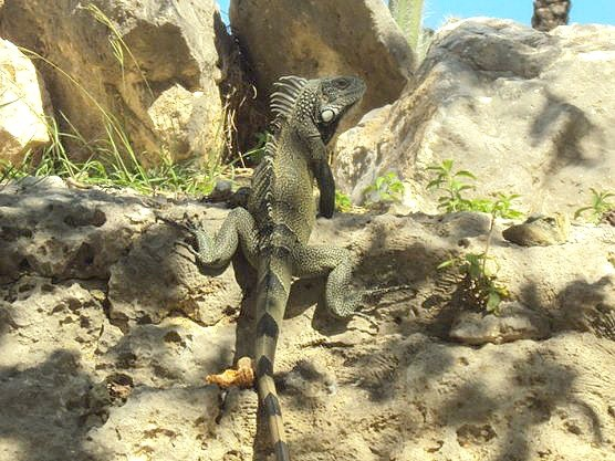 Curacao, a wild iguana sits still and watches us closely
