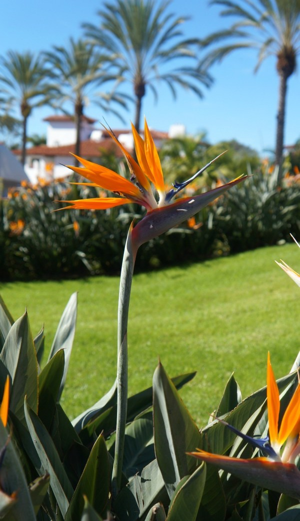 Gorgeous birds of paradise everywhere at the Omni La Costa Resort, Carlsbad, CA