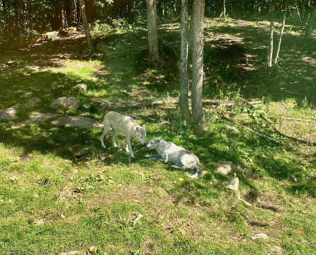 Haliburton Forest Wolf Centre
