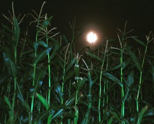 Moonlight Corn Maze at VonThun Farms  (Monmouth Junction, NJ) @ VonThun Farms | South Brunswick Township | New Jersey | United States