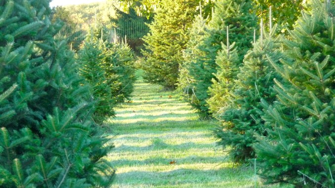 A freshly cut Christmas tree ... - Christmas Tree Farms (Central NJ) -