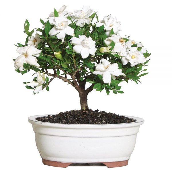 Beautiful Flowering Bonsai for Mommy this Mother's Day #PerfectGifts #MothersDay