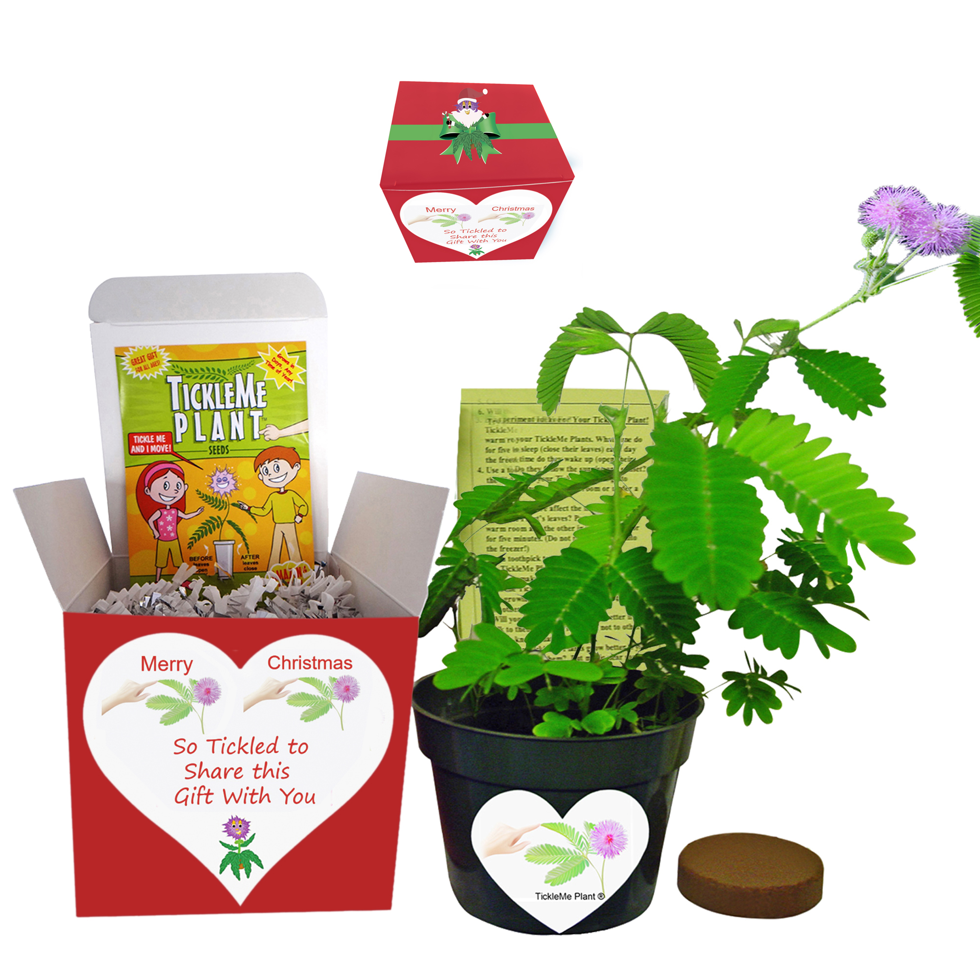 TickleMe Plant Box Set - Grow The Christmas House Plant That Closes Its Leaves When Tickled