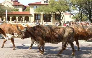 Stockyard cattle drive