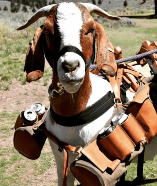 Goat Caddies at Silvies Valley Ranch