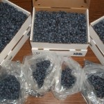 Organic, Local Blueberry Picking, 2013