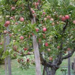 We're Renting an Organic Apple Tree!