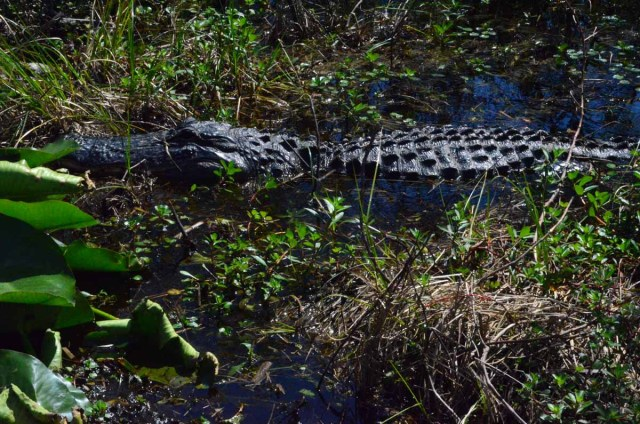 alligatorDSC_5095