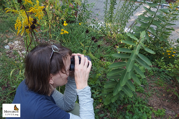 Heather finds first Monarch caterpillar