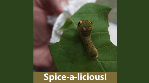 Spicebush and Spicebush Swallowtail
