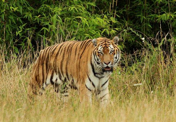 planete-sauvage-tigre