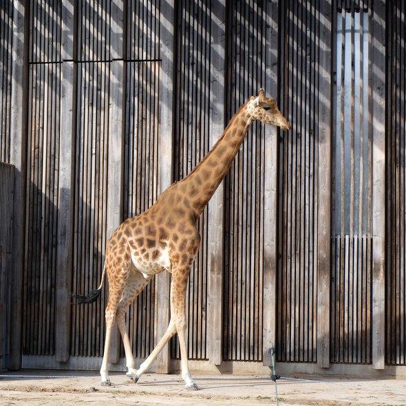 girafe-tete-dor-lyon