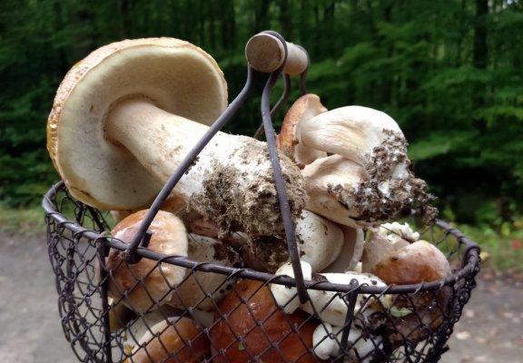 Venez, je vous emmène aux champignons (on pourra faire des omelettes)