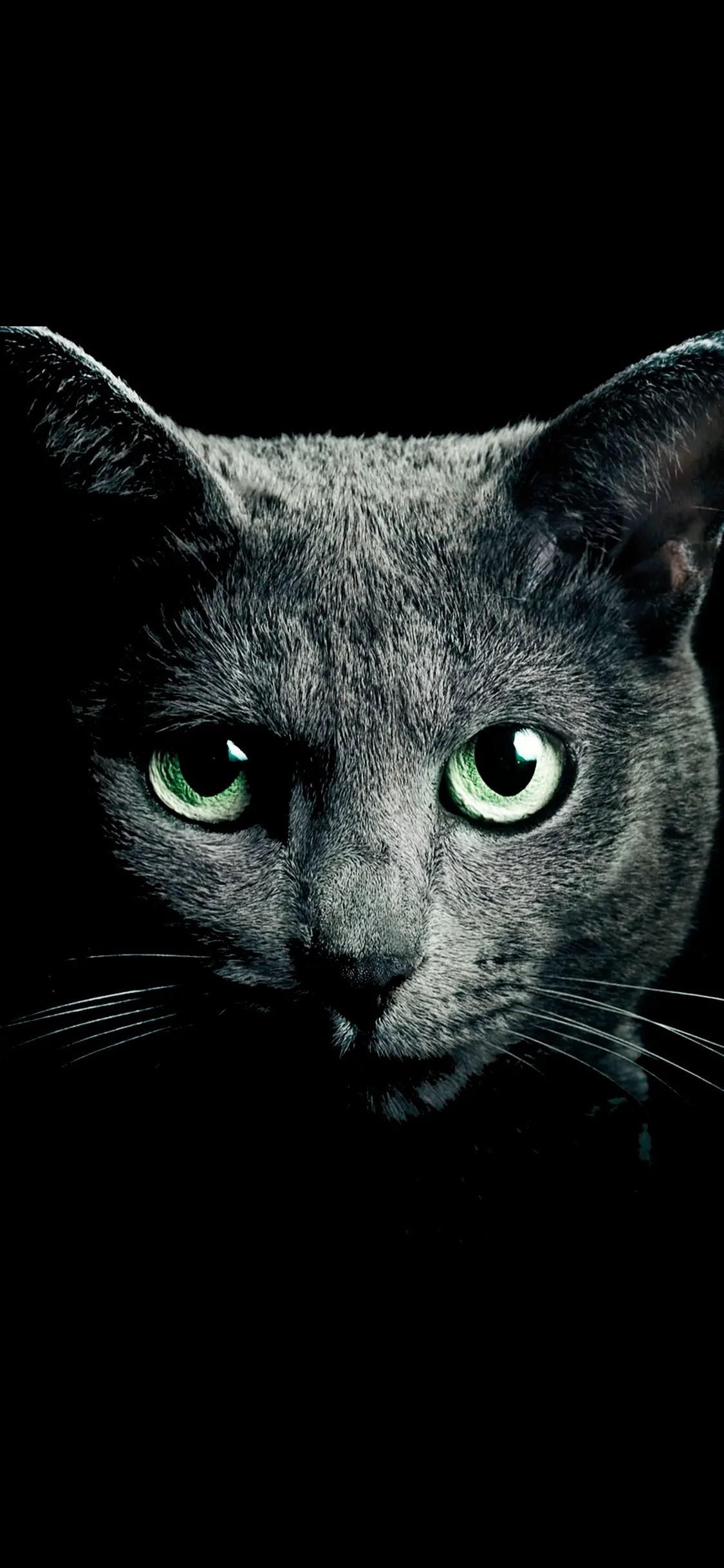 beau chat russian blue sur un fond noir