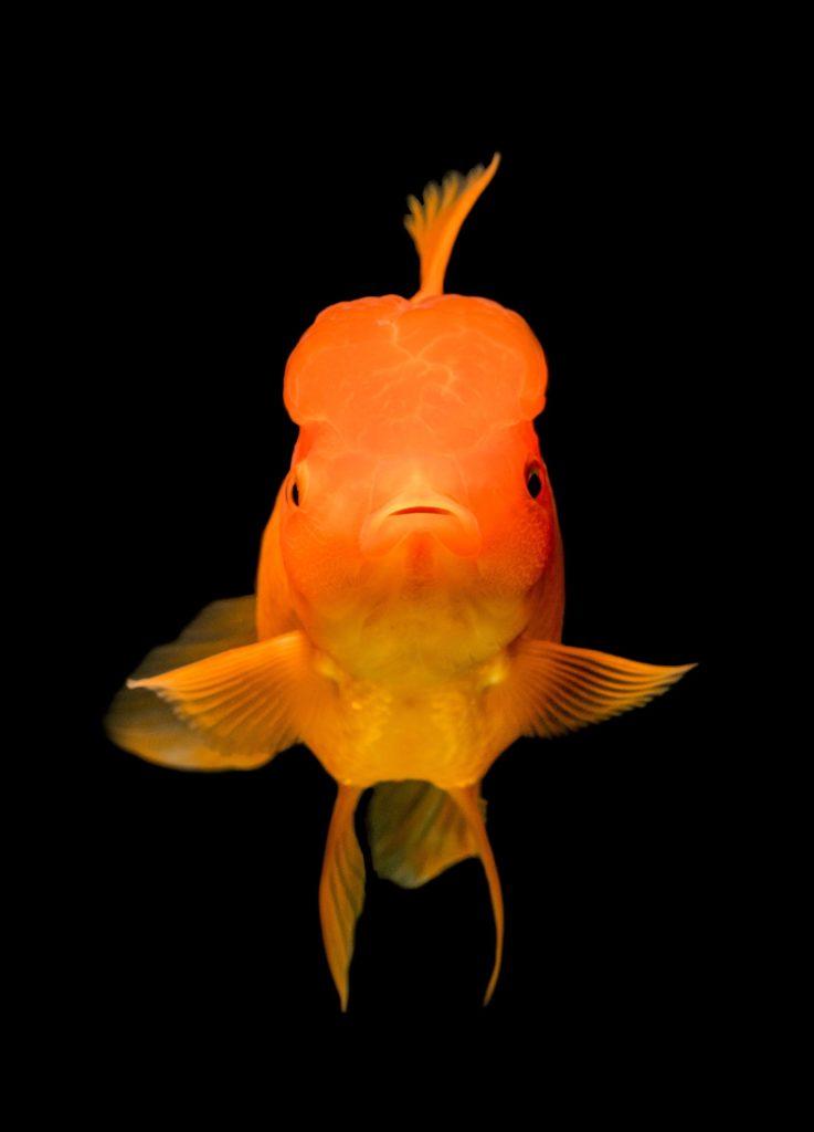 Les poissons rouges ont une meilleure mémoire que ce qu'on croit.
