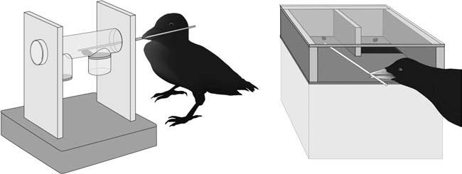 Pièges pour corbeaux de Nouvelle Calédonie