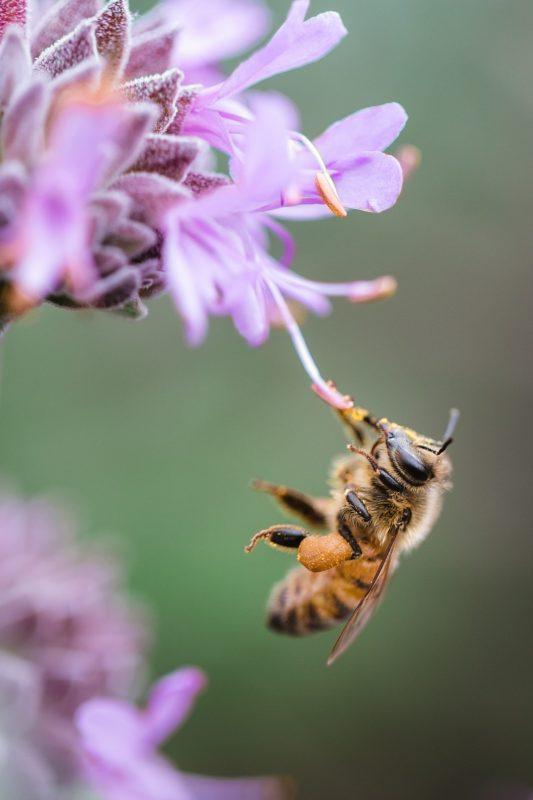 Les abeilles passent beaucoup de temps à chercher des fleurs à butiner