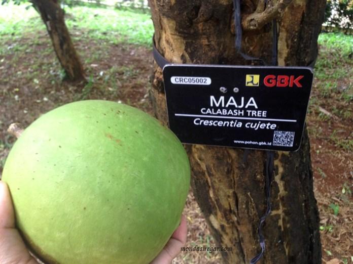 Pohon Buah Maja