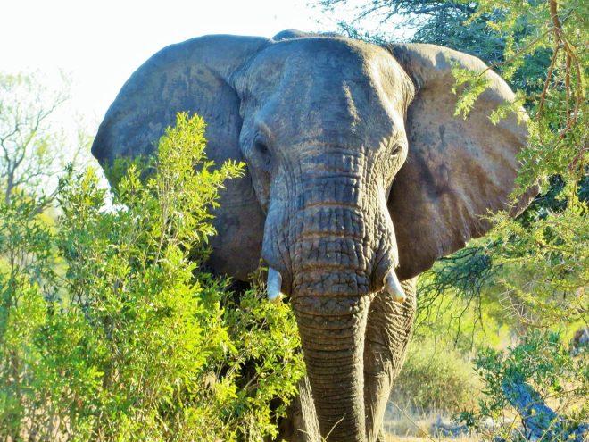 safári no Kruger
