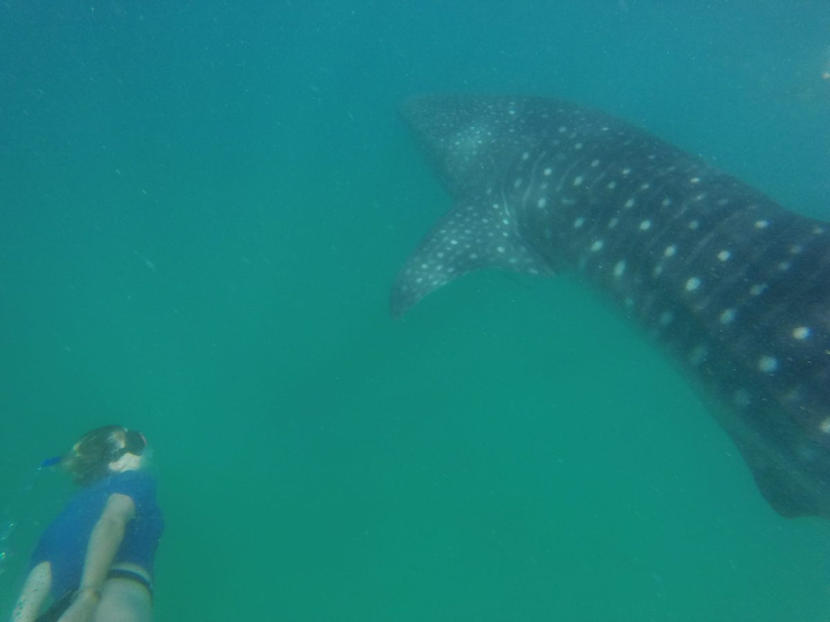 whale shark in Mozambique