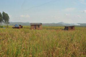 Accaparements de terres à main armée: Des milliers de familles sont violemment expulsées de leurs fermes en Ouganda