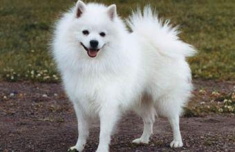 Voglio un cane: volpino italiano