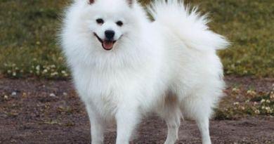 volpino italiano cane