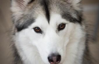 Siberian Husky, Balto eroe fedele