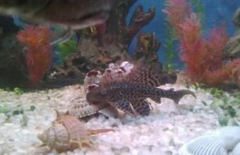 Il pesce spazzino nell'acquario