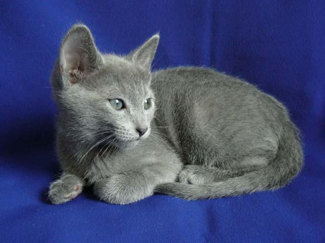 gattino gatto blu di russia