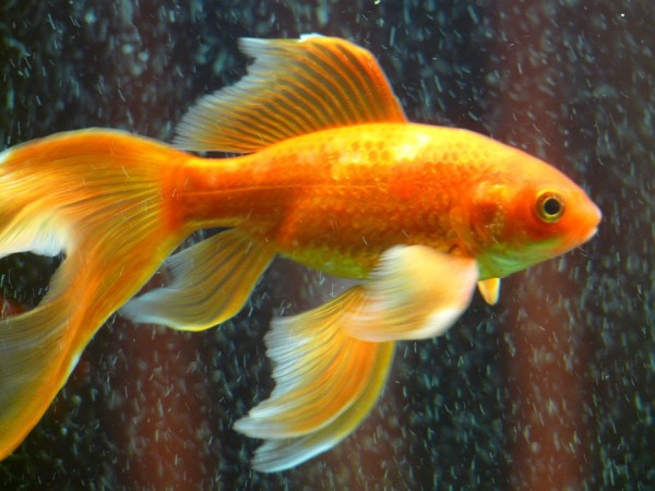 allungare vita pesce rosso