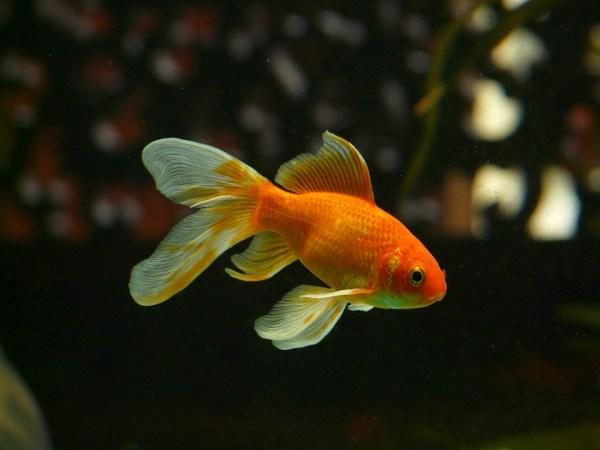 allungare vita pesci rossi