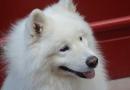 Razze di cane, il Samoiedo