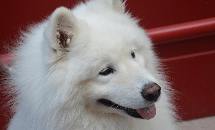 samoiedo razze di cani