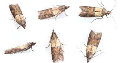 Farfalline in casa come eliminarle?